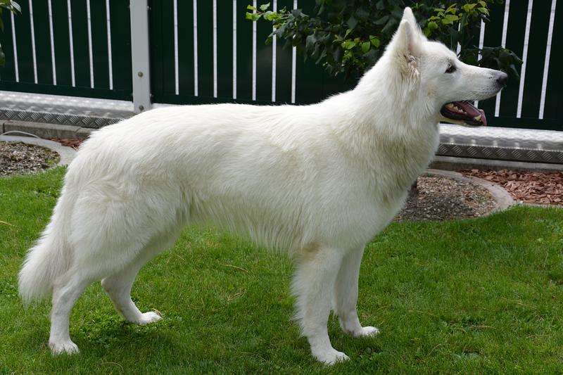 Weisser Schäferhund - N-Mailo vom Weissen Wächter