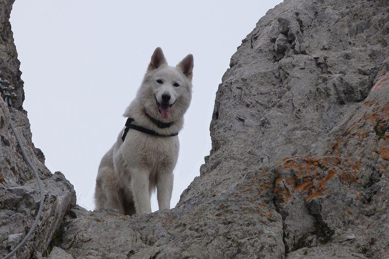 Weisser Schäferhund - Nehru vom weißen Wächter
