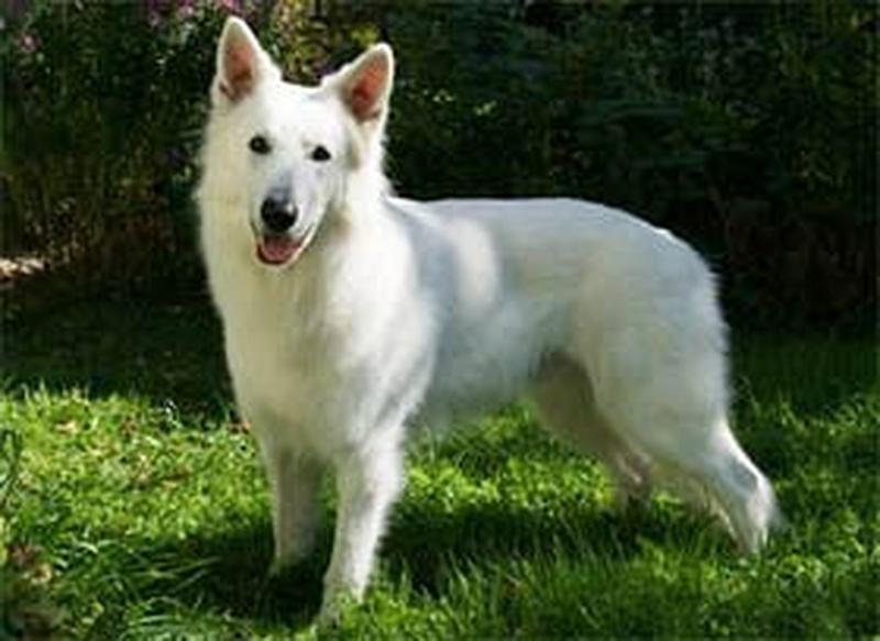 Weisser Schäferhund - Erik-Majestic vom weißen Wächter