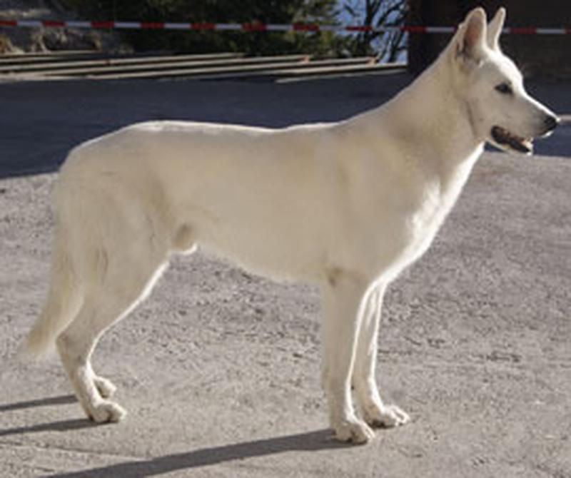 Weißer Schäferhund - Geret Flash vom weßen Wächter