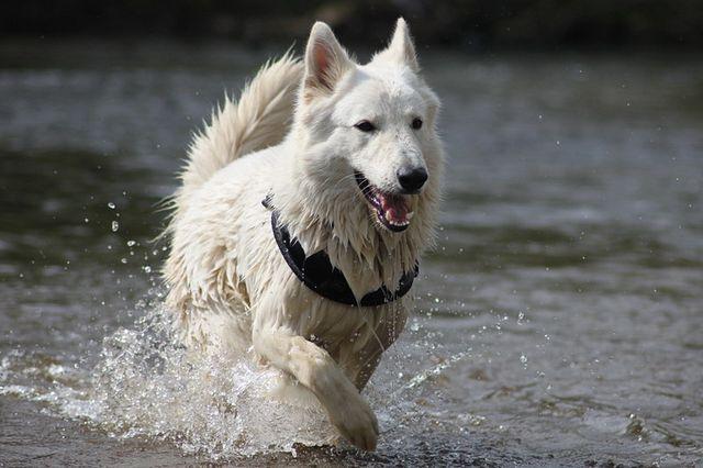 Weisser Schäferhund Ace-Holic of White Sharonnight