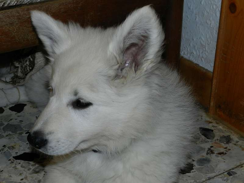 Weißer Schäferwelpe O-Kira