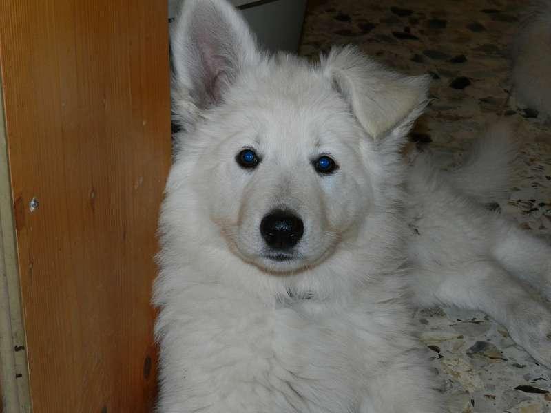 Weißer Schäferhund Onawa-Zoe
