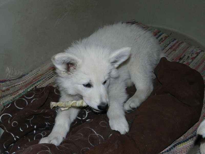 Weiße Schäferhündin Orea-Yuki