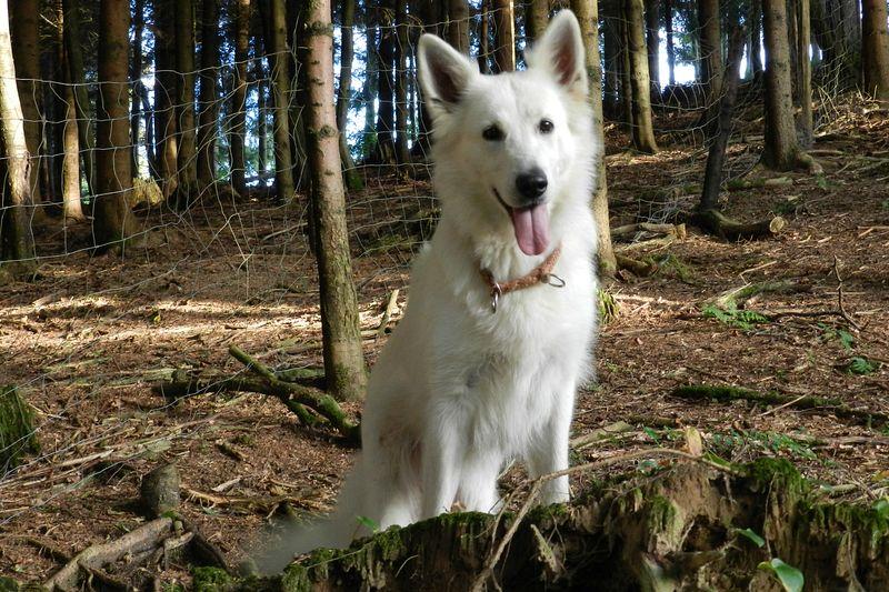 Weisse Schäferhündin Kia-Caprice vom Weissen Wächter