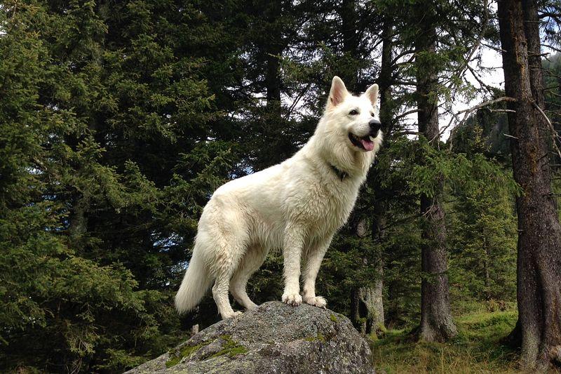 Weisser Schäferhund Ticco-Tayo of White Valley