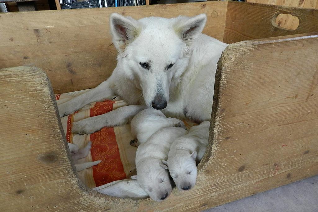Weiße Schäferhunde Welpen: Weiße Schäferhündin säugt ihre weißen Schäferhundwelpen